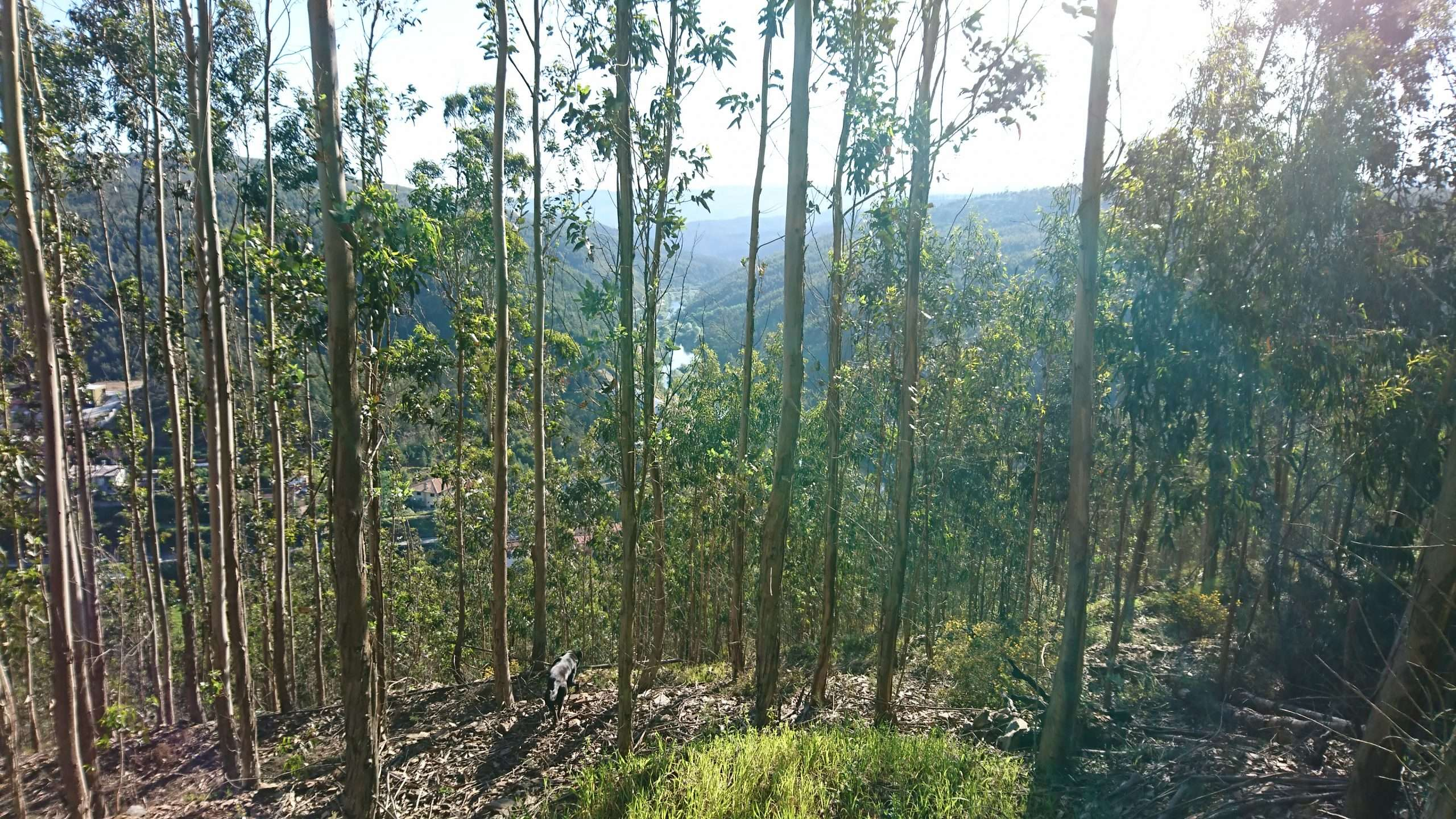 We are up the green mountain, looking between the eucalyptus trees down into the valley you can see the river Vouga. We walked up here with Olley our therapist dog. He is getting exercise as well as us.